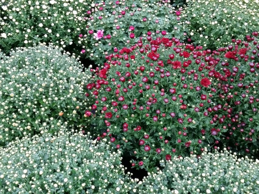 chrysanthèmes en variété