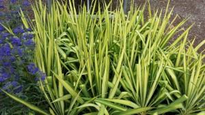 yucca et caryopteris