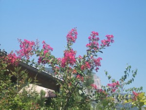 Lilas des Indes rose fuschia