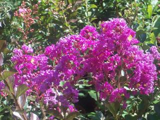 Conseils la palmeraie des alpes - Arbre lilas des indes ...