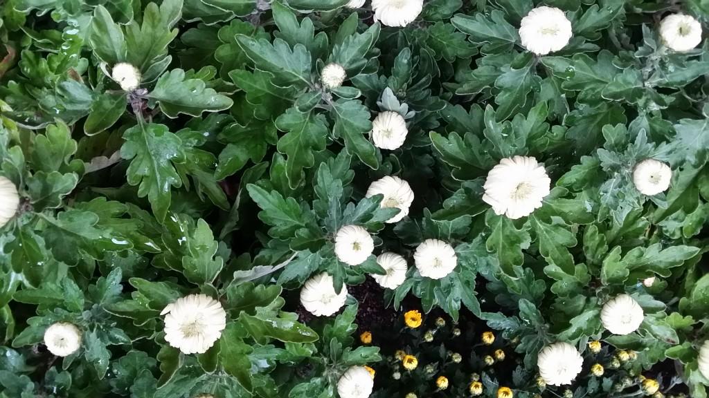 chrysanthème à grosse tête
