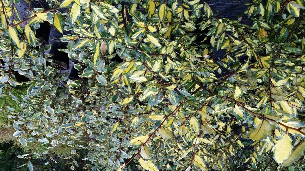Arbustes persistants la palmeraie des alpes for Eleagnus maladie feuilles jaunes