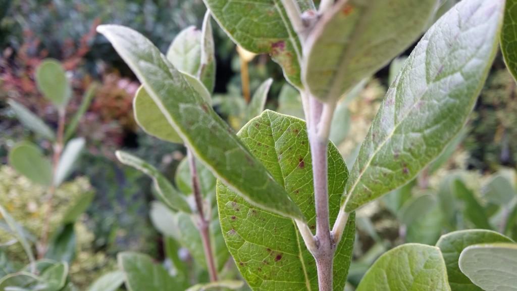 Arbustes persistants la palmeraie des alpes - Feuille de goyave acheter ...