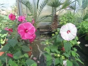 hibiscus des jardins