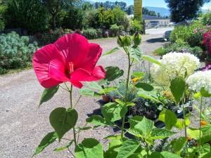 hibiscus et hortensia Annabelle