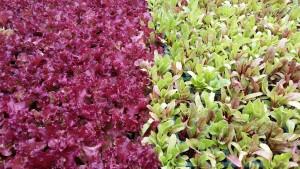 jeunes plants de salade
