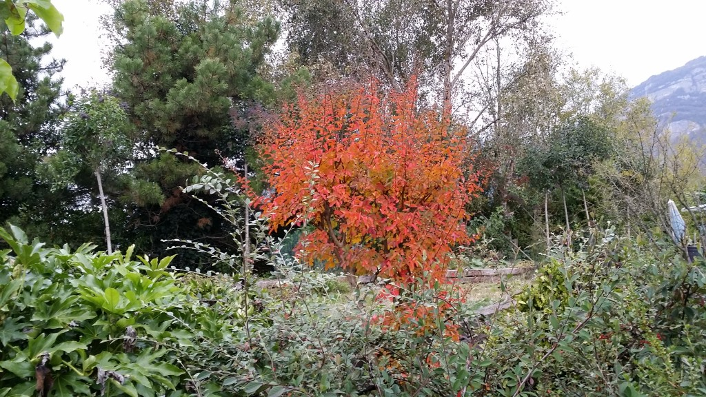 lilas des indes automne