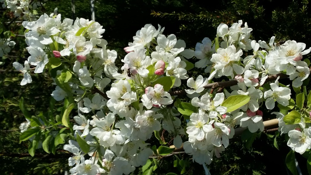 malus perpetu everest en fleurs