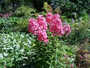 phlox roses