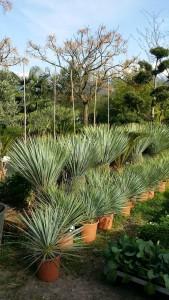 yucca rostrata 2015